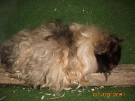 Foto 4 Meerschweinchen Babys und Kastrate abzugeben