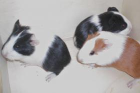 Foto 2 Meerschweinchen-Jungtiere