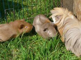 Foto 5 Meerschweinchen abzugeben