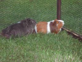 Foto 3 Meerschweinchen abzugeben