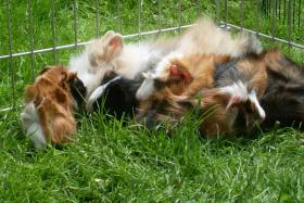 Meerschweinchenbabys,3-farbig.