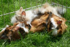 Foto 5 Meerschweinchenbabys,3-farbig.