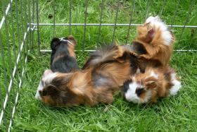 Foto 6 Meerschweinchenbabys,3-farbig.