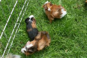 Foto 8 Meerschweinchenbabys,3-farbig.