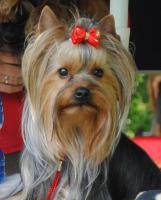 Mehrere Hunde einzeln an älteres Ehepaar oder an alleinstehende ältere Person zu verkaufen!