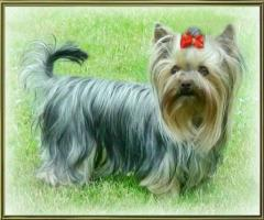 Foto 3 Mehrere Hunde einzeln an älteres Ehepaar oder an alleinstehende ältere Person zu verkaufen!