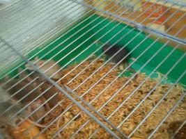 Mehrere Ratten -Jungtiere- abzugeben