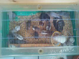 Foto 3 Mehrere Ratten -Jungtiere- abzugeben