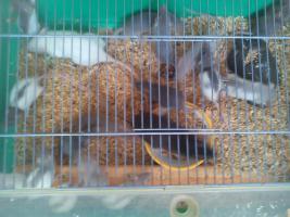 Foto 4 Mehrere Ratten -Jungtiere- abzugeben