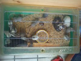 Foto 5 Mehrere Ratten -Jungtiere- abzugeben