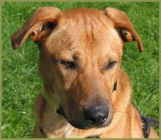 Foto 2 Mein Steckbrief: Kromos, männlich, 3 Jahre, 55 cm groß, Boxer-Labrador-Mix