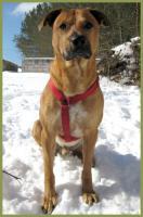 Foto 3 Mein Steckbrief: Kromos, männlich, 3 Jahre, 55 cm groß, Boxer-Labrador-Mix