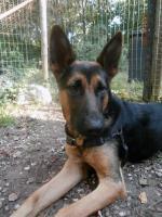 Foto 4 Mieke Deutscher Schaferhund (Stichting Binx)