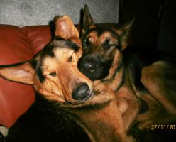 Foto 5 Mieke Deutscher Schaferhund (Stichting Binx)