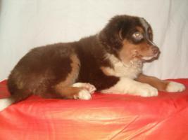 Foto 2 Mini Australian Shepherd Welpen