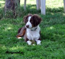 Foto 2 Mini Australian Shepherd Welpen in red tri