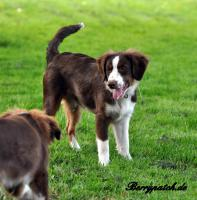 Foto 8 Mini Australian Shepherd Welpen in red tri