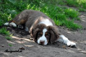 Foto 9 Mini Australian Shepherd Welpen in red tri