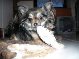 Mini Chihuahua  Langhaar Hündin
