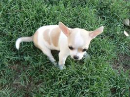 Mini Chihuahuawelpen