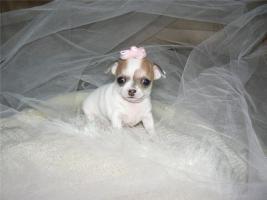 Foto 2 Mini Chihuahuawelpen
