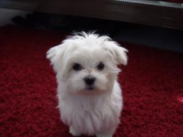 Mini Malteser Stammbaum Familienhund