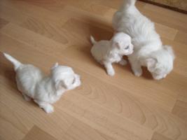 Foto 3 Mini Malteser Stammbaum Familienhund