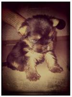 Foto 2 Mini Yorkshire Terrier