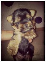 Foto 3 Mini Yorkshire Terrier