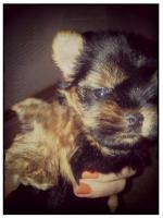 Foto 4 Mini Yorkshire Terrier