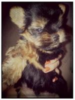 Foto 5 Mini Yorkshire Terrier