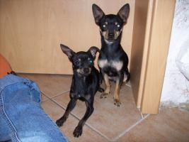 Mini - Toy Terrier Rüde 1 Jahr, dringend abzugeben, kleiner als ToyTerrier