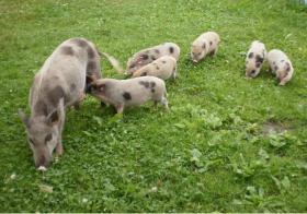 Minischweinchen noch 2 kleine süße günstig anzugeben