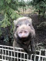 Minischweine in gute Hände abzugeben