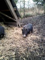 Foto 3 Minischweine in gute Hände abzugeben