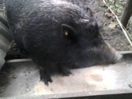 Foto 4 Minischweine in gute Hände abzugeben