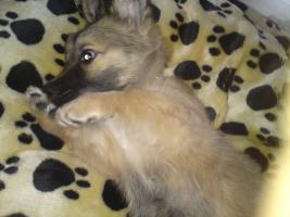 Möchte mein 4 Monate alten hundewelpen in liebevolle hände angeben