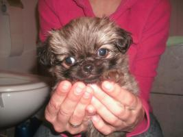 Foto 2 Mops-Chihuahua Welpen