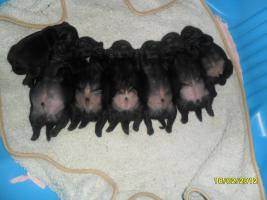 Mops mit Nase! Altdeuitsche Mopszucht hat Welpen aus völlig Freiatmenden Elterntieren.