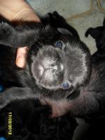 Foto 4 Mops mit Nase! Altdeuitsche Mopszucht hat Welpen aus völlig Freiatmenden Elterntieren.