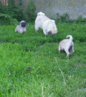 Foto 3 Mops Welpen Pinky (w) und Paul (m)