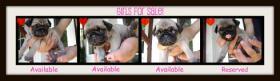 Foto 3 Mops wunderschoene Welpen zu verkaufen