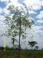 Moringa oleifera - getrocknete Blätter