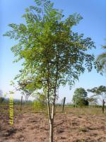 Foto 2 Moringa oleifera - getrocknete Blätter