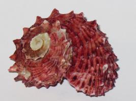 Foto 2 Muschel & Mineralien - Sammlungen - Neu oder Alt