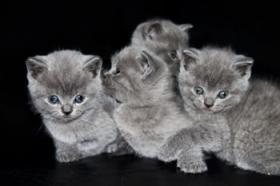 Foto 3 NOCH 3 BKH KITTEN ABZUGEBEN!!! :)