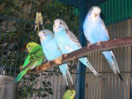 Foto 3 Nestjunge Wellensittiche abzugeben