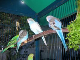 Foto 4 Nestjunge Wellensittiche abzugeben