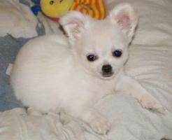 Netter kleine Chihuahua Hündin in weiß
