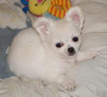 Foto 2 Netter kleine Chihuahua Hündin in weiß